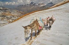 Mules in Himalayas Royalty Free Stock Photo
