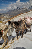 Mules in Himalayas Stock Image
