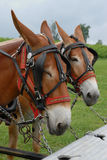 Mules hitched up. A pair of mules hitched up to farm equipment Royalty Free Stock Photos