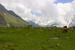 Mules and horses, grazing grass, near snow clad mountains. Himachal Pradesh Stock Image