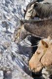Mules i berg. Arkivfoton