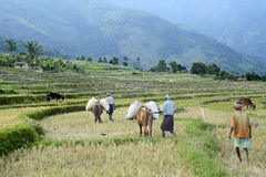 Mules- Load carriers of down valley at Kanthallur. Farmers at down valley at Kanthallur transport cropped paddy-Oryza sativa- filled in sacs to upper land on Stock Photography