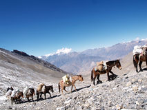 Mules in Mountain Royalty Free Stock Photography