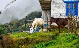 Mules at mountain village at base camp path royalty free stock images