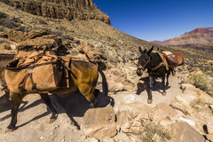 Mules On Grand Canyon Trail Stock Image