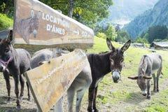Mules pour la location Image libre de droits
