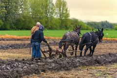 Mules pull a plow guided by a man and woman Royalty Free Stock Images