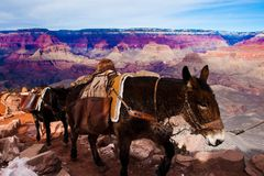 Mules s'élevant avec des marchandises en parc national de canyon grand en Arizona, Etats-Unis Image libre de droits