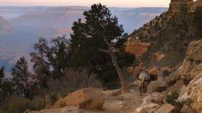 Mules On South Kaibab Trail at Grand Canyon. Establish shot clip stock footage