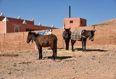 Mules, Moroccan lifestyle. Mules standing by the mudbrick house in Morocco. They are used as means of transport in Morocco Stock Photos