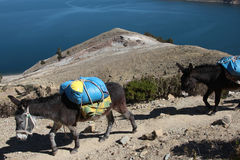 Mules walking royalty free stock photography