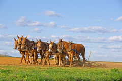 Mules Working on Amish Farm. A team of mules pull a soil roller and a spring-tooth harrow on an Amish farm in Lancaster County, Pennsylvania Royalty Free Stock Image