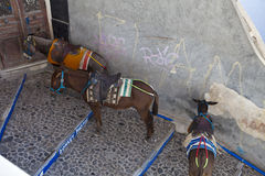 Mules. Working mules at oia santorini greece Stock Image