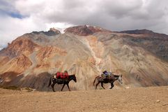 Mules in Zanskar Stock Image