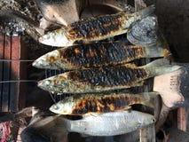Mulet gris à tête plate vietnamien, cephalus de mugil Photographie stock libre de droits