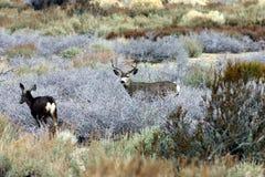 Muley deer. Buck and doe Mule deer browsing Stock Photo