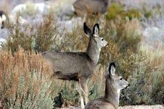 Muley deer. Doe Mule deer browsing with one laying down Stock Image