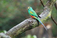 Mulga parrot. Sitting on the tree in the rain royalty free stock images