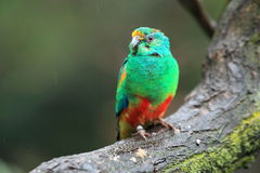 Mulga parrot Stock Photos