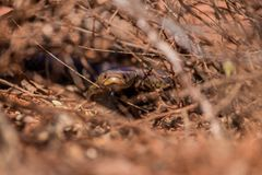 Mulga snake Psuedechis australis hiding in a bush stock image