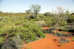 Mulga - specific vegetation in Australia Stock Image