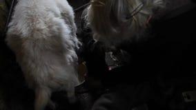 Mulher adulta que ordenha uma dieta saud?vel e natural da cabra na vila video estoque