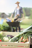 Mulher adulta que trabalha no jardim vegetal Foto de Stock
