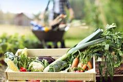 Mulher adulta que trabalha no jardim vegetal Fotos de Stock Royalty Free