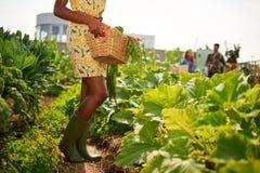 Mulher afro-americano amigável que colhe legumes frescos do jardim da estufa do telhado foto de stock royalty free