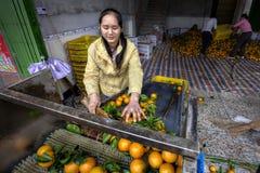 A mulher asiática nova classifica e trata laranjas no packinghouse fotos de stock