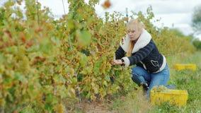 A mulher atrativa nova com tesouras corta as uvas Colheita no vinhedo vídeos de arquivo