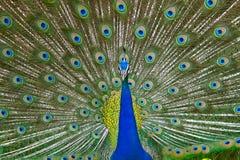 Mulher atrativa que mostra a dança do pavão Imagem de Stock Royalty Free
