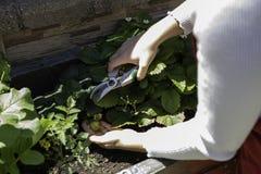 Mulher bonita que toma do jardim de vegetais urbano imagem de stock