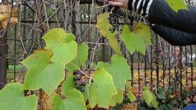 A mulher colhe a produção de vinho madura do outono das bagas da uva do recolhimento vídeos de arquivo
