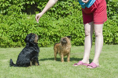 Mulher com cães em um gramado verde em um dia ensolarado brilhante Imagem de Stock Royalty Free