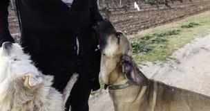 Mulher com dois cães Foto de Stock