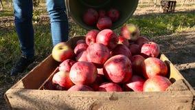 Mulher com uma cubeta das maçãs video estoque