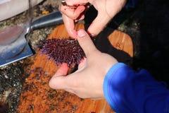 A mulher corta o diabrete de mar aberto Foto de Stock