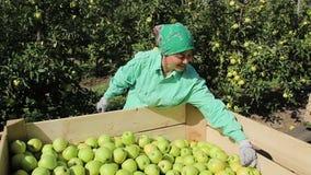 A mulher da máquina desbastadora do fruto derrama a cubeta com maçãs colhidas filme