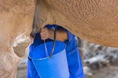 Mulher do Cazaque que ordenha o camelo para fazer a bebida turkic conhecida como o shubat, em Shymkent, Cazaquistão Imagem de Stock