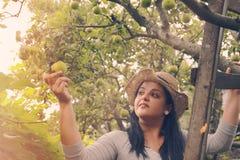 A mulher do jardim está pegarando maçãs na escada Fotos de Stock Royalty Free
