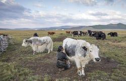Mulher do Mongolian que ordenha uma vaca Fotografia de Stock