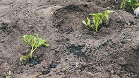 A mulher do tomate das plantas novas põe no à terra escava acima e molhou vídeos de arquivo