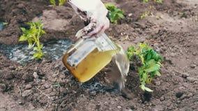 A mulher do tomate das plantas novas põe no à terra escava acima e molhou filme