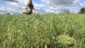 A mulher do trabalhador do aldeão com as ervilhas da colheita do recolhimento da cesta de vime ponds 4K video estoque