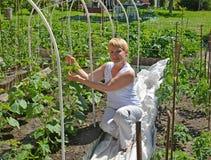 A mulher dos anos médios amarra acima plantas do pepino em uma horta Imagens de Stock