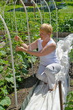 A mulher dos anos médios amarra acima plantas do pepino em uma horta Fotografia de Stock Royalty Free