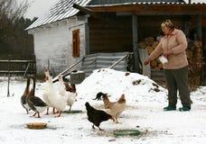 Mulher e aves domésticas Fotos de Stock Royalty Free