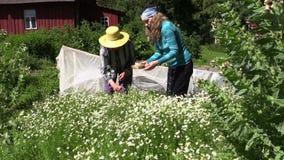 A mulher e a jovem mulher superiores escolhem flores da camomila da erva video estoque