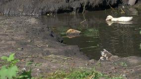 Mulher e patinho do pato em uma lagoa Um pássaro na fazenda home Pássaro no quadro completo filme